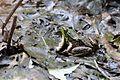 Frog in leaves.jpg