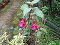 Fuchsia hybrida-yercaud-salem-India.JPG