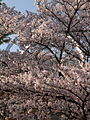 Futamurayama Observation Deck with the Cherry Blossoms, Toyoake 2011.JPG