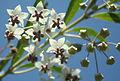 G. physocarpus fleurs.JPG