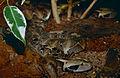 Gaboon Viper (Bitis gabonica) juvenile (captive specimen) (14699705008).jpg