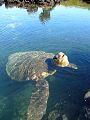 Galapagos Island Tortoise drowning.jpg