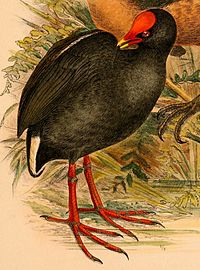 Gallinula tenebrosa frontata 1898.jpg