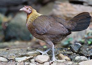 Gallus gallus female - Kaeng Krachan.jpg
