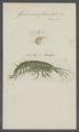 Gammarus fluviatilis - - Print - Iconographia Zoologica - Special Collections University of Amsterdam - UBAINV0274 098 02 0003.tif