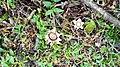 Geastrum saccatum 44943282.jpg
