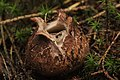 Geastrum sp. (38038679251).jpg