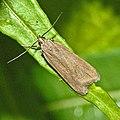 Gelechiidae - Acompsia cinerella.JPG