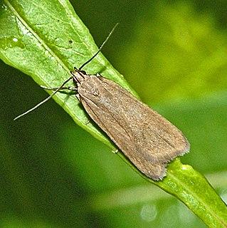 <i>Acompsia</i> genus of insects