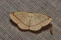Geometridae (15697393818).jpg