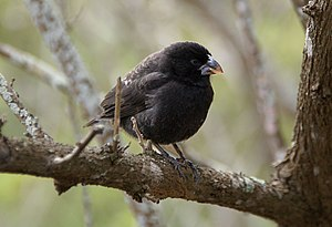 Competition (biology) - Medium ground finch (Geospiza fortis) on Santa Cruz Island in the Galapagos