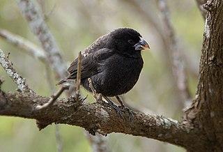 Medium ground finch Species of bird