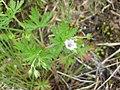 Geranium bicknellii 3-eheep (5097293023).jpg