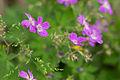 Geranium sylvaticum - 23 June 2012.jpg