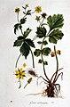 Geum urbanum — Flora Batava — Volume v1.jpg