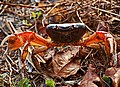 Giant Crab of Andaman Islands.jpg