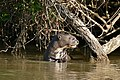 Giant Otter (Pteronura brasiliensis) eating some fish ... (31723523461).jpg