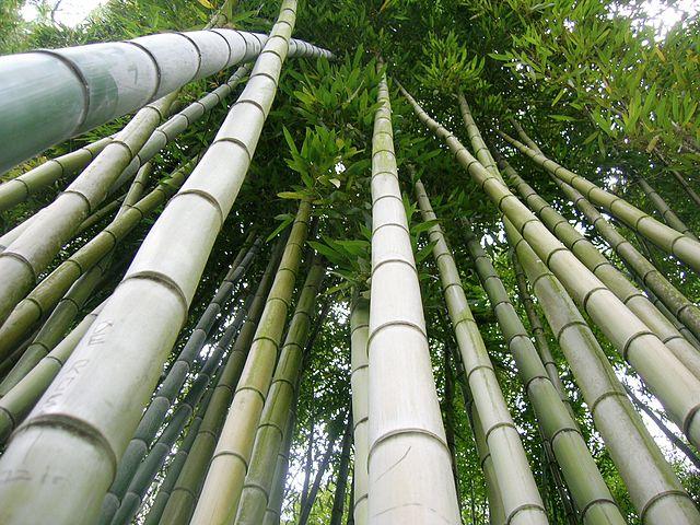 Najrýchlejšie rastúcou rastlinou je bambus, denne aj niekoľko desiatok cm. Je to tráva.
