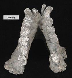 250px-Gigantopithecus_blacki_mandible_01