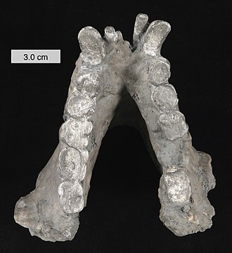 Bigfoot - Fossil jaw of the extinct primate Gigantopithecus blacki