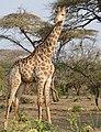 Giraffe (Giraffa camelopardalis) male ... (50348067506).jpg