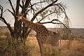 Giraffe at Welgevonden Game Reserve, South Africa.jpg