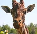 Giraffe head 2 by Keven Law.jpg