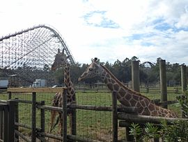 Giraffes at Wild Adventures