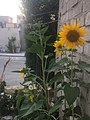 Girasoles mexicana 2019 (22).jpg