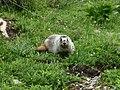 Glacier Hoary Marmot.jpg