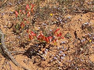 Gladiolus alatus - Gladiolus alatus in South African habitat