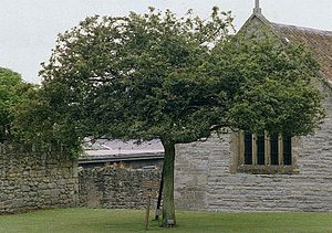 Glastonbury Thorn - Glastonbury Thorn at Glastonbury Abbey, 1984. This tree died in 1991 and was removed in 1992