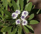 Globularia ascanii - Jardín Botánico Canario Viera y Clavijo - Gran Canaria - 02.jpg
