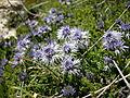 Globularia cordifolia by Danny S. - 001.JPG
