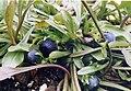 Globularia vulgaris 1.jpg