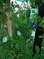 Gokarna flower 5.jpg