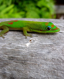 Gold Dust Day Gecko Hawai'i.jpg
