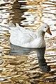 Golden Lake (2074628356).jpg