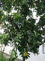 Golden Penda plant.jpg