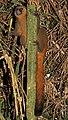 Golden bamboo lemur (Hapalemur aureus).jpg
