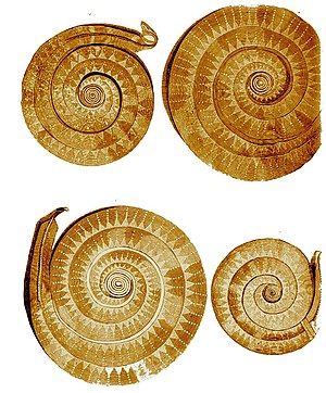 History of Maramureș - Prehistoric golden coils ornamented with intaglio lines and dots from Sighetu Marmației, Maramureș County, Romania.