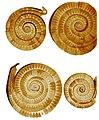 Golden coils Prehistoric Maramures (Dacia).jpg