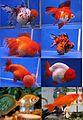 GoldfishVarieties.jpg