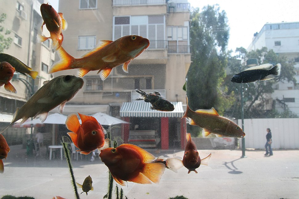 Goldfishs in an aquarium in Tel-Aviv