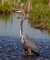 Goliath Heron, Ardea goliath at Marievale Nature Reserve, Gauteng, South Africa (30559502317).jpg