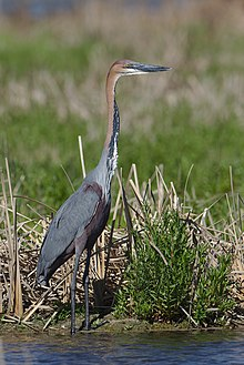 Goliath Heron, Ardea goliath at Marievale Nature Reserve, Gauteng, South Africa (43682844940).jpg