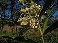 Gomphocarpus fruticosus 1 Sos Alinos 17072014 40.4322017, 9.7584315.jpg