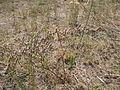 Goniolimon graminifolium 1.JPG