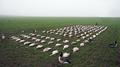 Goose hunting in Sweden - DK WAI - 138 geese.png