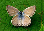 Gram Blue Euchrysops cnejus UP by kadavoor.jpg